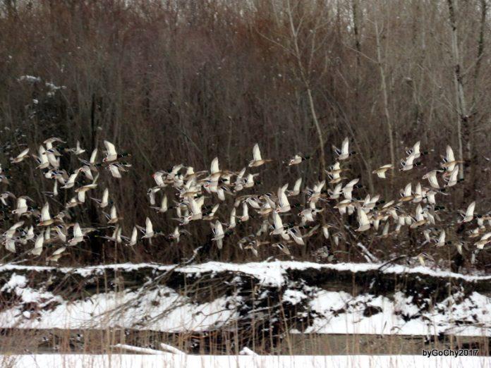 prebrojavanje ptica