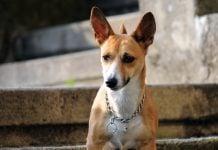 Mali međimurski pas – Međi
