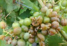 Šteta od tuče na vinovoj lozi