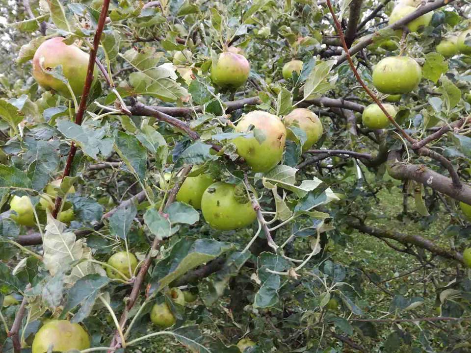 Od tuče u Međimurju stradali su i voćnjaci puni jabuka