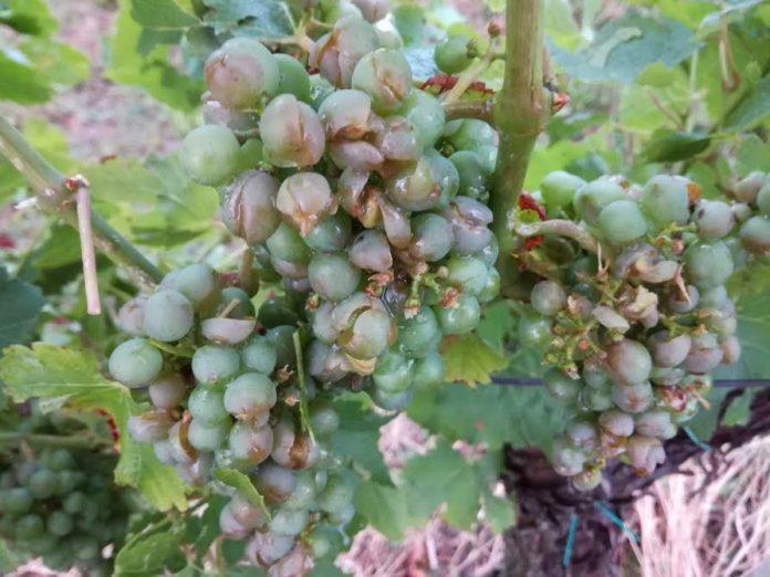 Tuča je u Međimurju nanijela velike štete vinovoj lozi