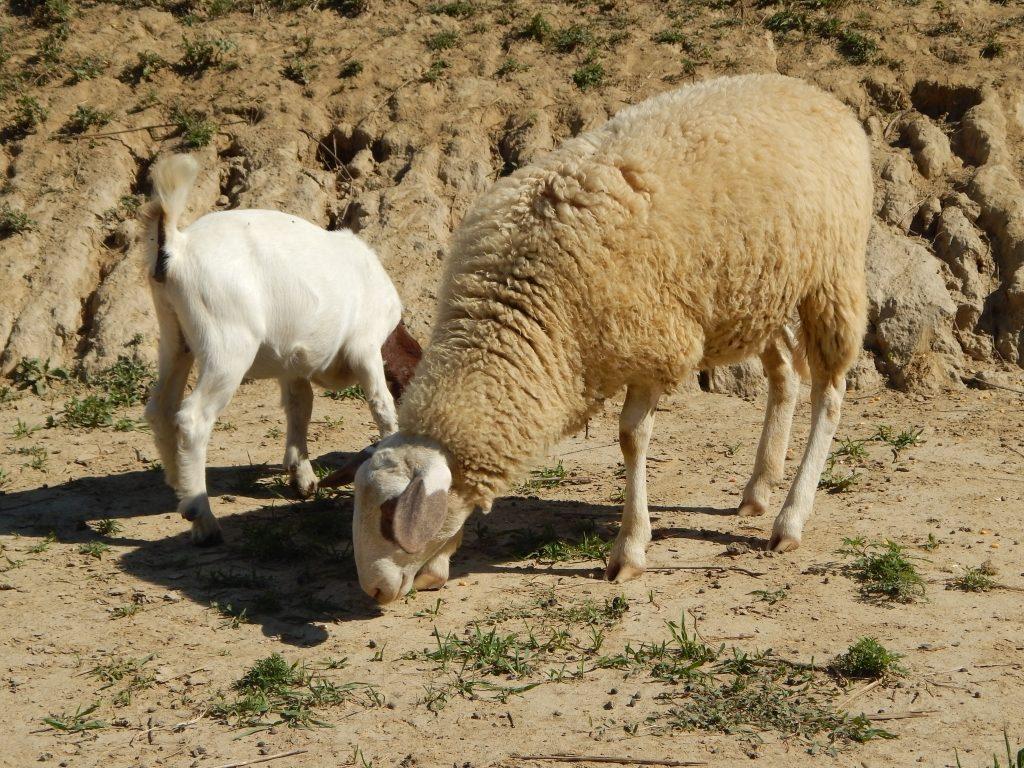 burska koza i ovca