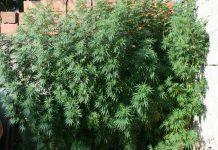 Marihuana Podturen