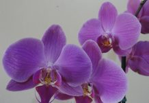 Orhideja orhideje