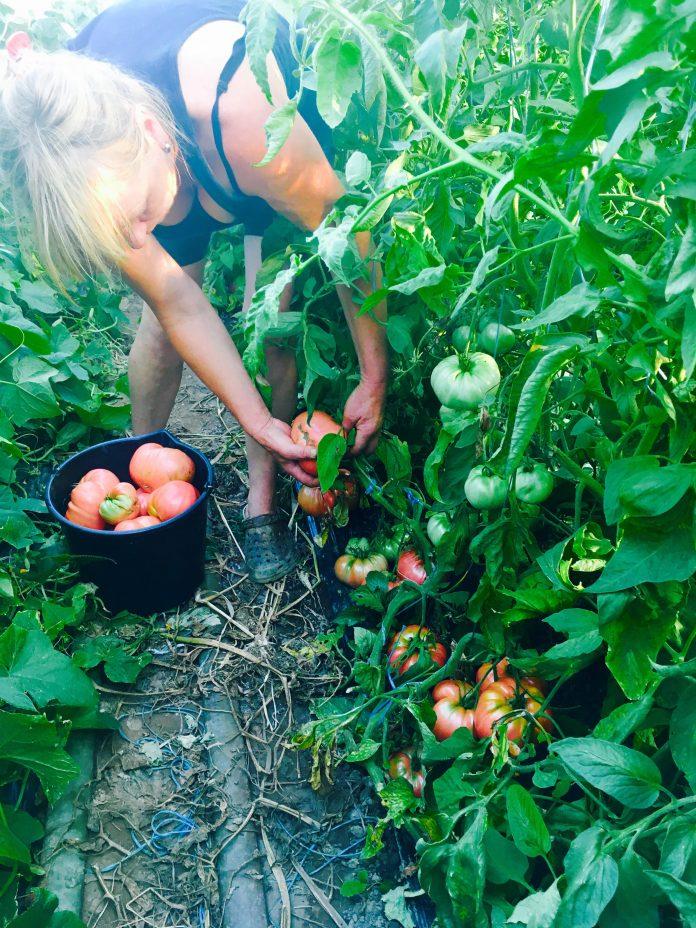 sočne rajčice