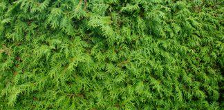 zeleni zid
