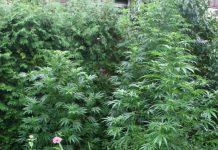 Marihuana Mursko Središće