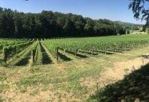 Vinograd obiteljske vinarije Štampar