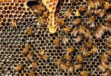 pčela pčele