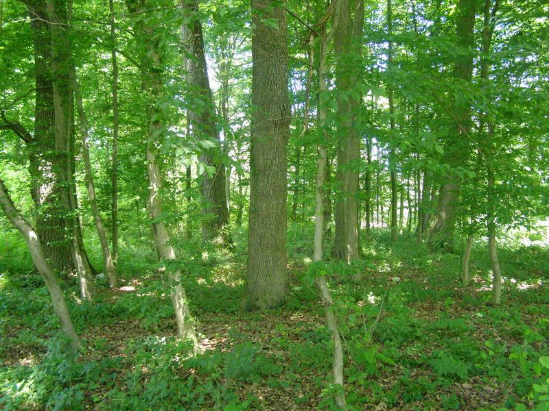 Mlada šuma hrasta lužnjaka u Murščaku u proljeće