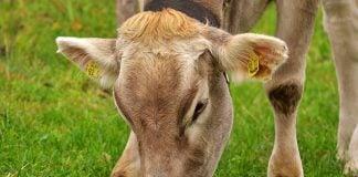krava krave