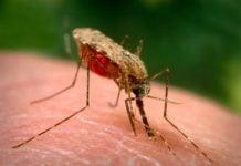 komarac komarci