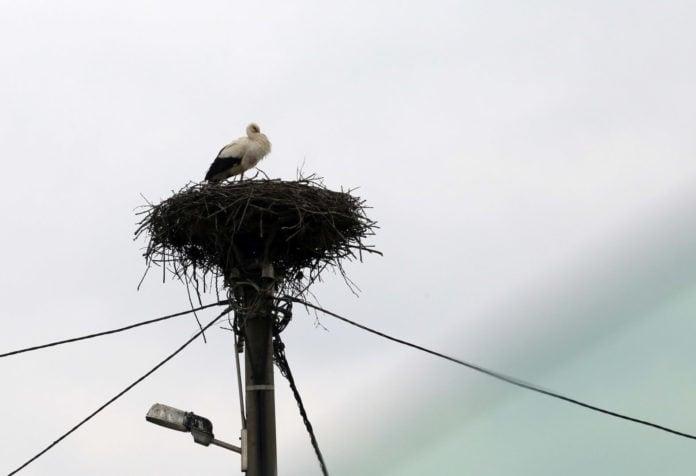 Roda u svojem gnijezdu u Palovcu