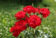 ruža ruže cvijeće