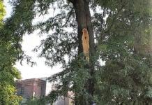 Perivoj Zrinskih opasna stabla uklanjanje1