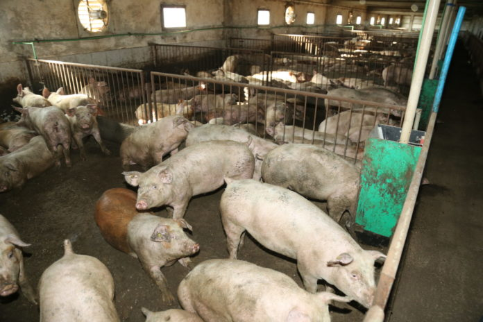 svinje podturen52