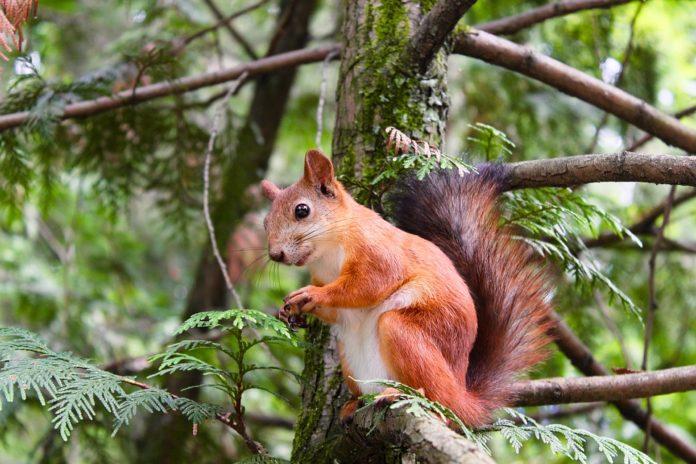 vjeverica vjeverice