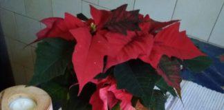 božićna zvijezda zamjenjuje adventski vijenčić