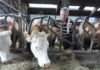 najbolji-mljekar-sa-šampionkom-hanom