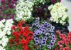 dani grada cvijeće (10)