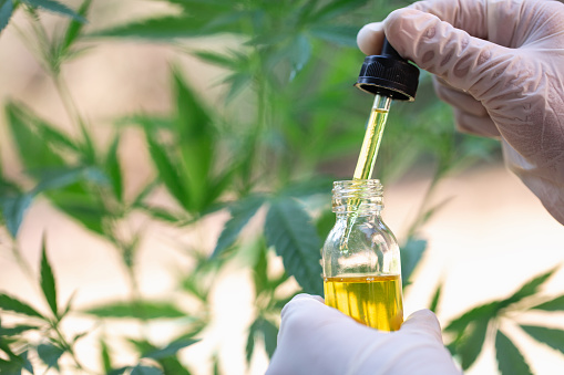 cannabis oil in the doctor's hand hemp leaf, Marijuana medical medicine