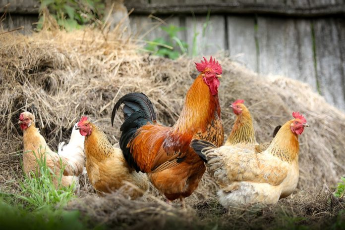 kokoši
