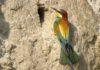 ptica pčelarica