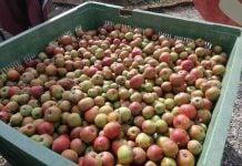 Brezovec jabuke (37)