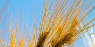 barley-4553674-1280-880x495