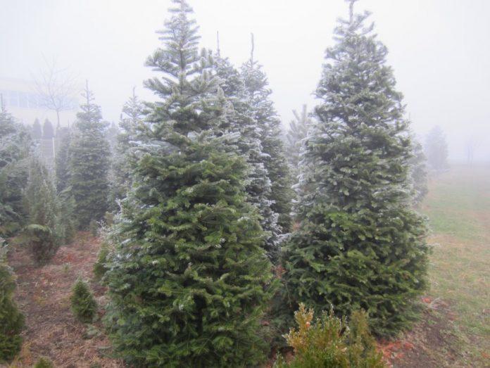 nordijska-jela-bozicno-drvce-bor-jelka-srebrna-plava-varazdin-abies-slika-107257937-696x523