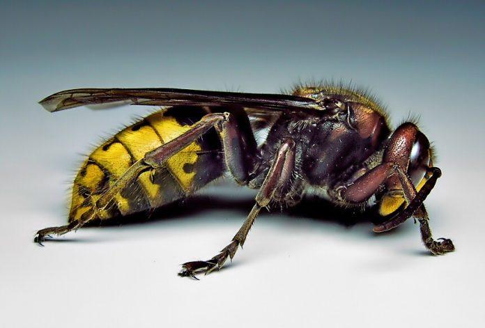 Hornet-vespa-stršljen