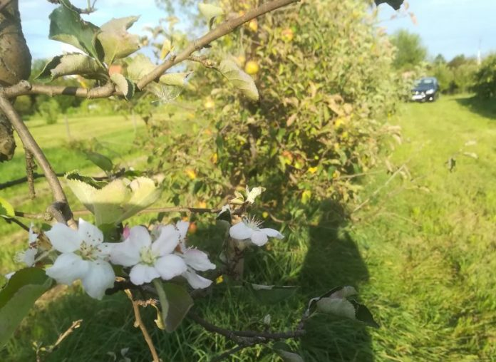 jabuke u cvatu
