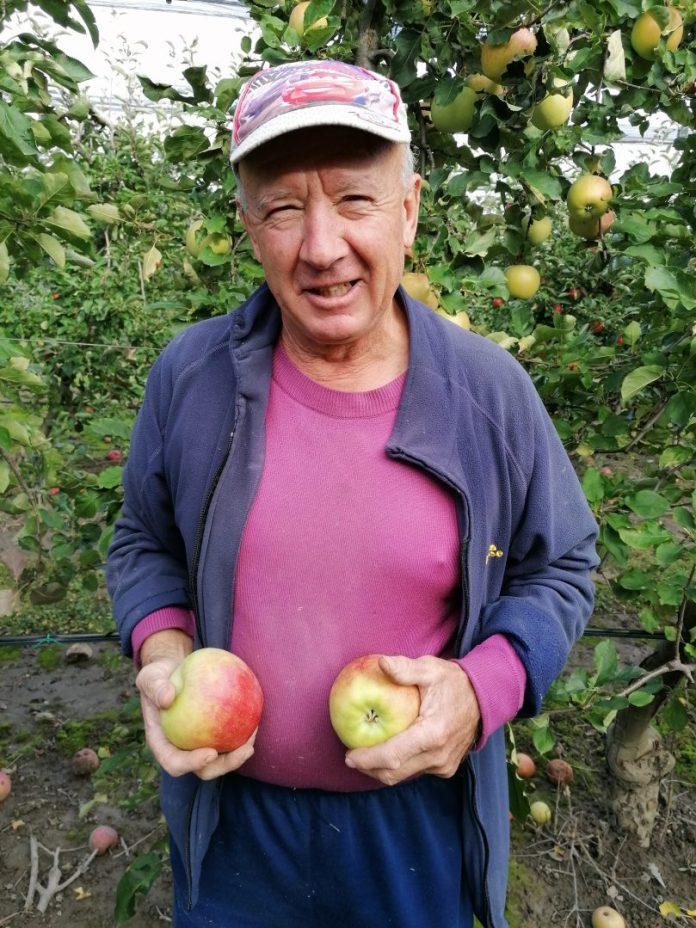 berba jabuka 2