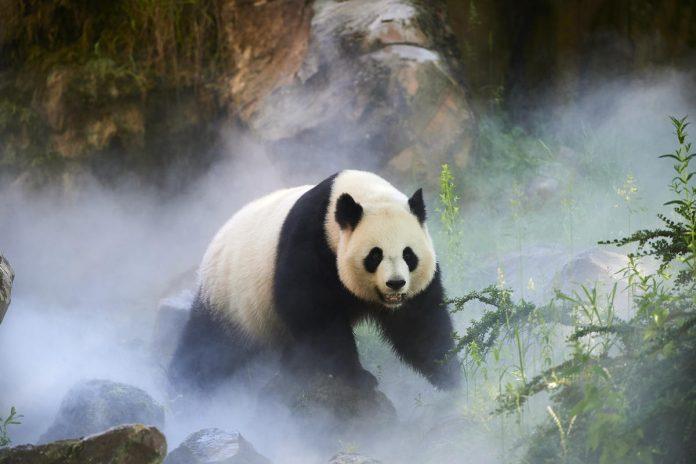 velika panda © naturepl.com, Eric Baccega, WWF