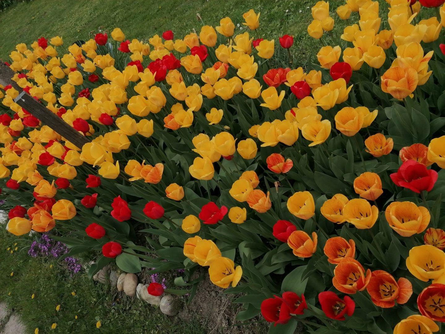 tulipani 1